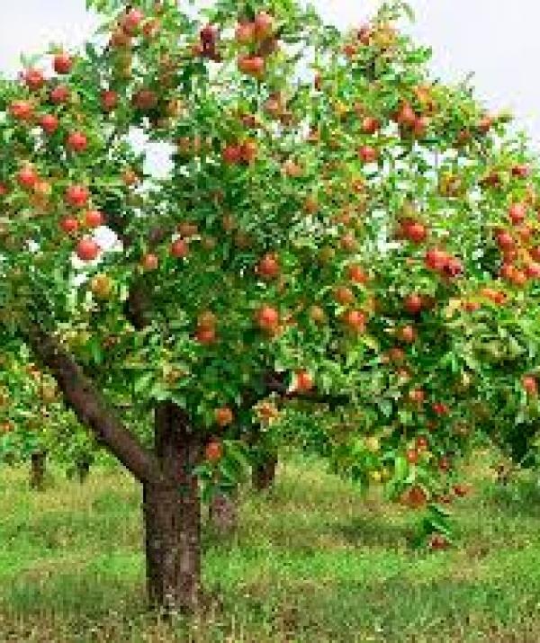 Mục đích của đạo Phật - Chuyện cây táo hoang