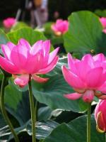 Giới thiệu Kinh Phật Thuyết Ðại Thừa Vô Lượng Thọ Trang Nghiêm Thanh Tịnh Bình Ðẳng giác