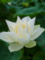 THƯ CUNG BẠCH  của Phật tử hộ trì Tam Bảo